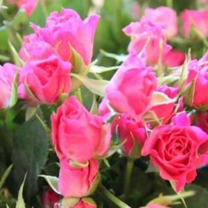 Pi Pa Pink: pinke Buschrosen