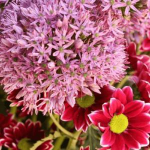 rote-Chrysantheme-Allium