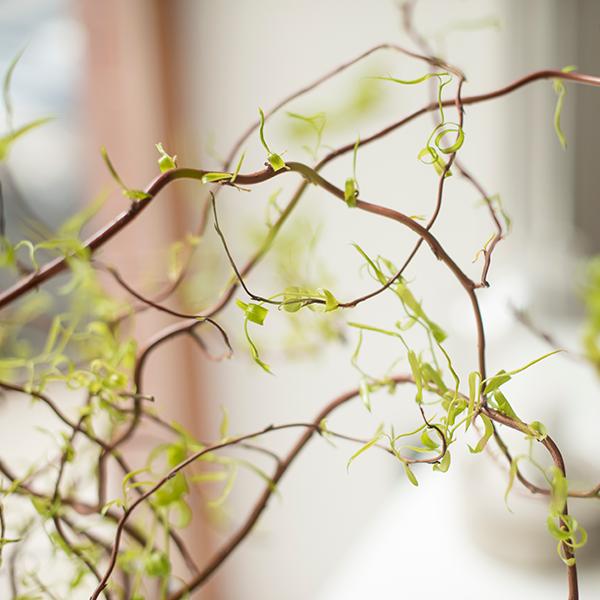 Atemberaubend Korkenzieherweide - Bloomy Blog | Blumentipps und mehr #BC_41
