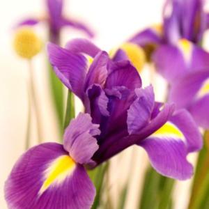 Iris und Craspedia