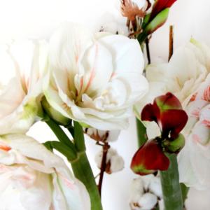 Cotton Candy: Amaryllis-mit-Baumwolle