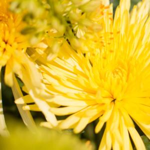 Chrysanthemen und Eremurus