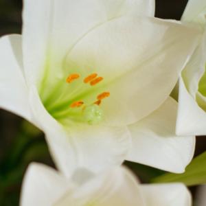 Edeldisteln und Lilien