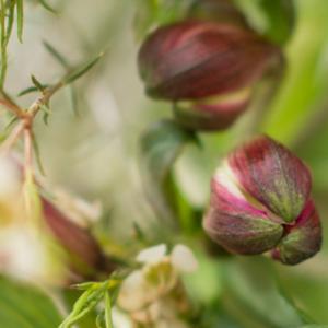 Inkalilien mit Waxflower