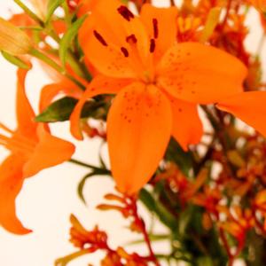 Pure Energy: Lilien-mit-Kaengurufuesschen