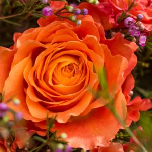 Rosen und Waxflower