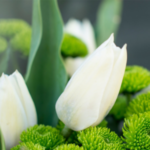 Santini-Tulpen