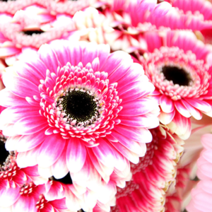 Lolli Pop: bunte Germini Gerbera