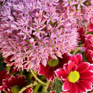 LORDLY DOTS: rote-Chrysantheme-Allium