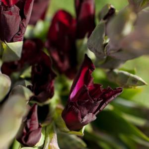 Humble Giant: violette Gladiolen
