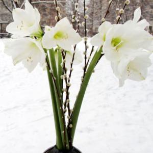 Schneeflöckchen Weißröckchen: weiße Amaryllis und Weidenkätzchen
