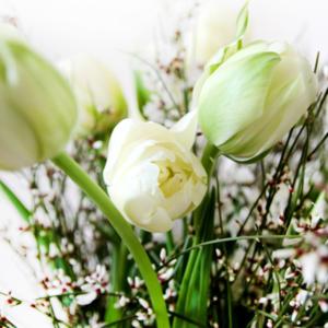 French Spring: weisse Franzoesische Tulpen mit Ginster