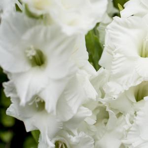 White Lies: weiße Gladiolen