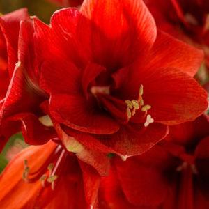 Rote Amaryllis