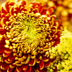 Chrysanthemen und Solidago