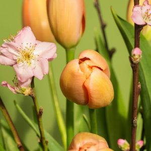 Peach Beauty: Französische Tulpen