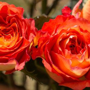 free spirit rosen