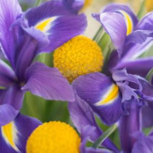 Iris und Heidelbeere
