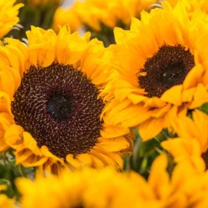 Mini Sonnenblumen