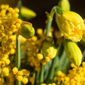 Yellow Submarine: Narzissen und Mimose