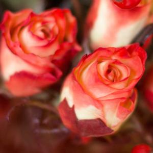 Rosen und Hagebutte