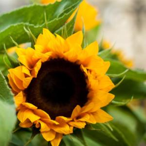 Frische Sonnenblumen im Herbst