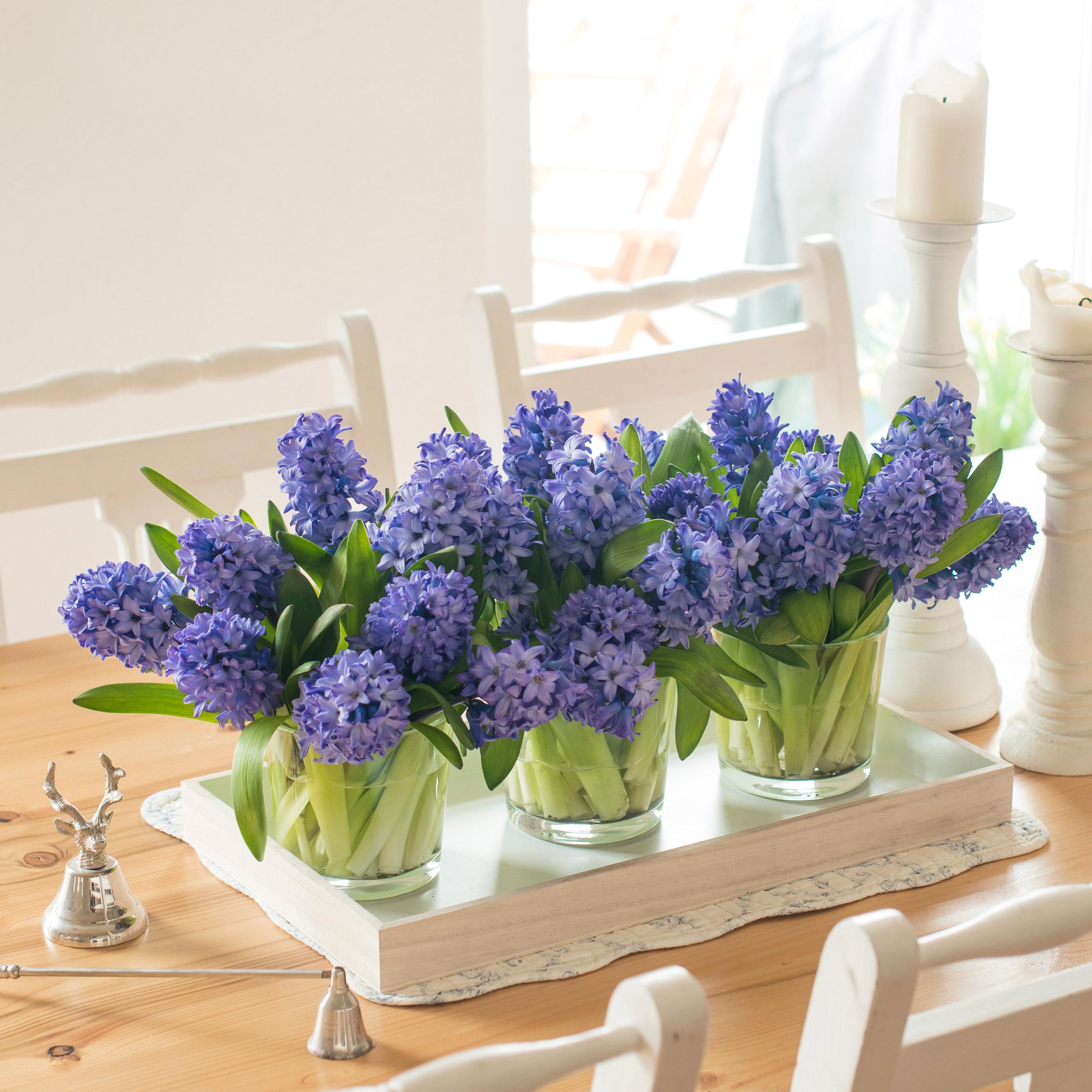 lila-blau-violett-Hyazinthen-Hyacinthus