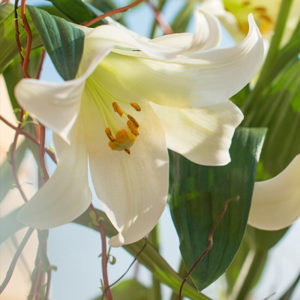 EASTER LILY: Weiße Lilienblüte