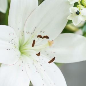 weiße Lilienblüte