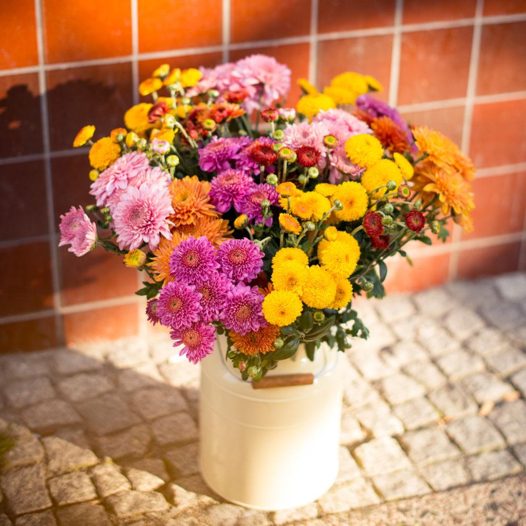 Chrysanthemen Pflege für den Herbst