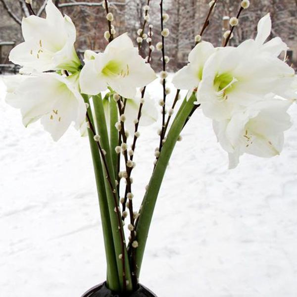 weisse-Amaryllis-Amaryllidaceae-mit-Weidenkaetzchen-Salix-spec