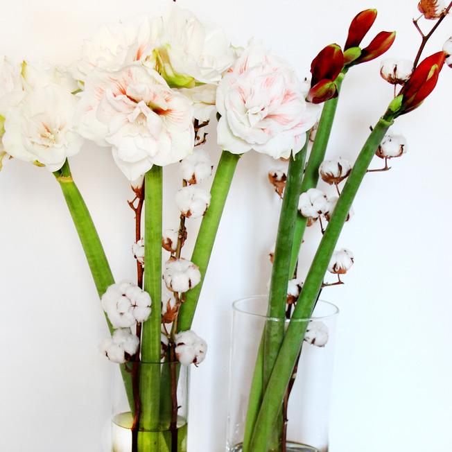 weisse-Amaryllis-mit-Baumwolle-Gossypium