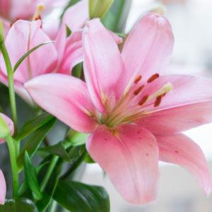 Brindislilien und Strelitzienblätter