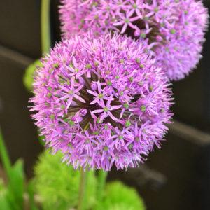 Allium und Green Trick