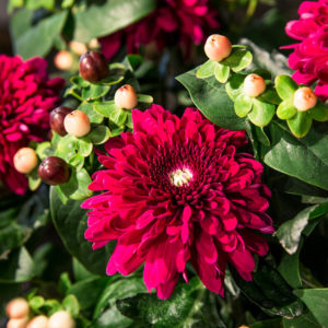 Surprise in Red: Chrysanthemen und Hypericum