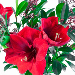 Advent Star: Amaryllis und Skimmia