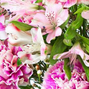 Inkalilien, Wachsflower, Nelken
