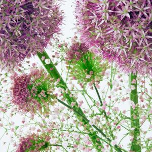 Allium, Miniallium, Schleierkraut
