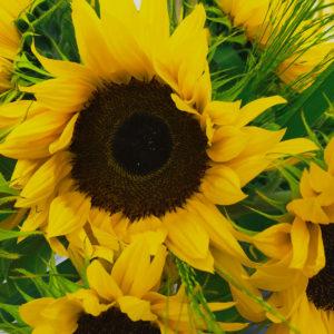 Sonnenblumen & Panicum