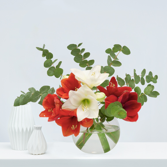 Weihnachtsblumen-rote-amaryllis-weihnachten