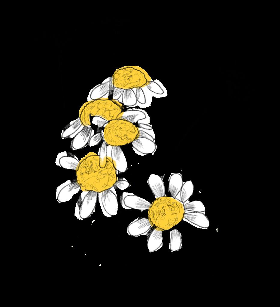 Blumen im Juni Kamille