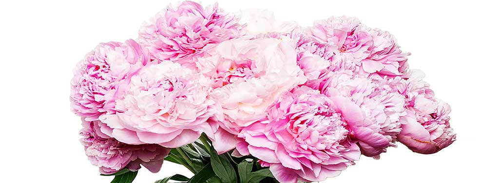 Pfingstrosen Bestellen Blumenversand Blumenabo